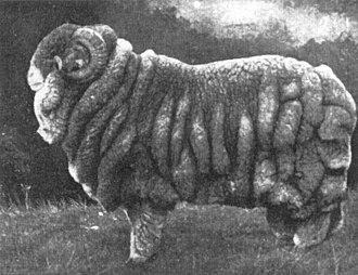 Merino - Champion Merino ram, 1905 Sydney Sheep Show.