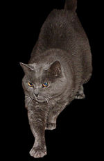 Chartreux Cat 1.jpg