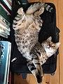 Chat patchouli en position mercredi.jpg