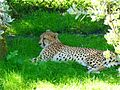 Cheetah - Brevard Zoo African Animals - Flickr - Rusty Clark.jpg