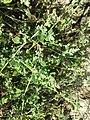 Chenopodium vulvaria sl111.jpg