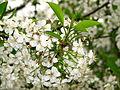 Cherry blossom (Cerasus) 02.JPG