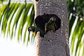 Chestnut-fronted Macaw - Maracaná (Ara severa severa) (15698734302).jpg