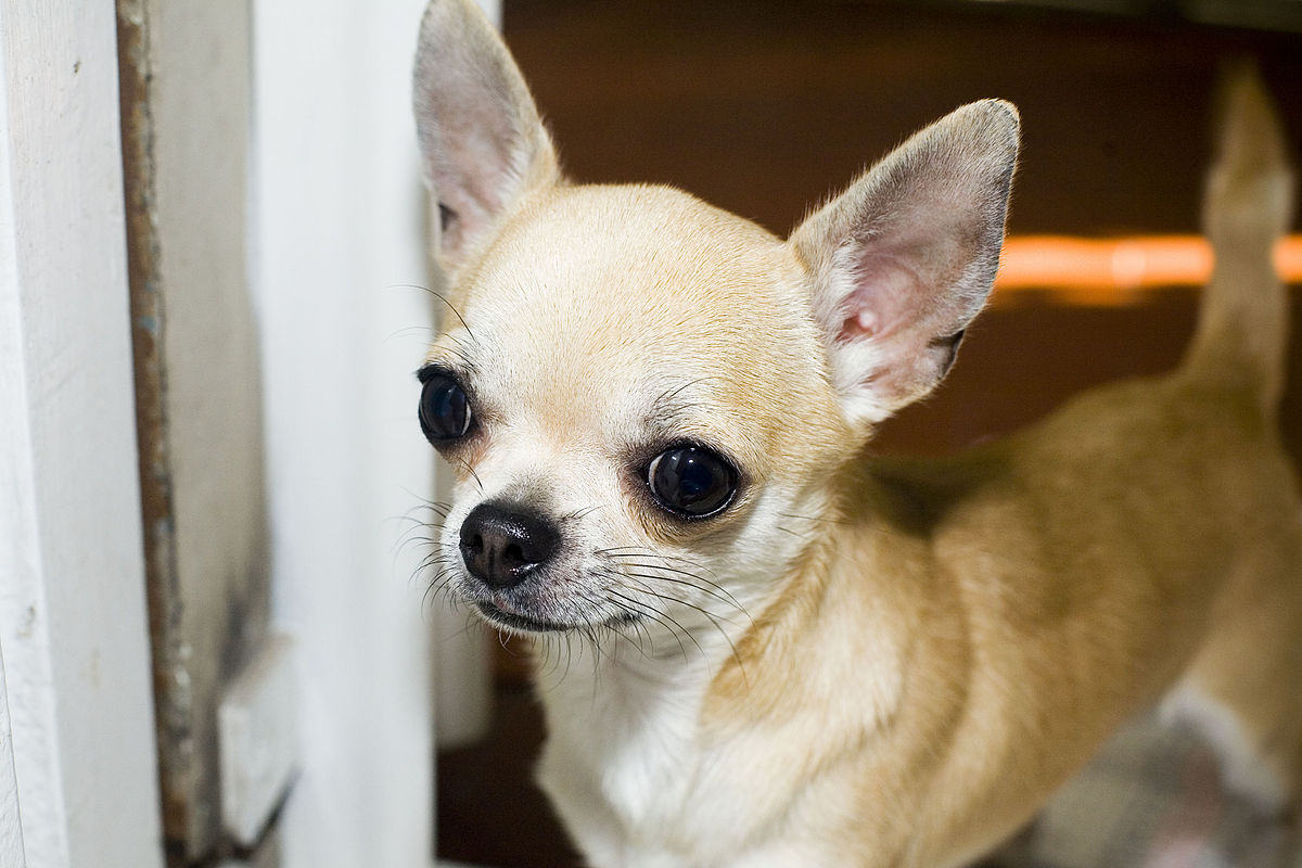 Image Result For Can Chihuahua Puppies