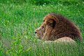 Chilled out lion (7434825648).jpg