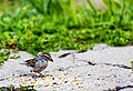 Chipping Sparrow (29263900877).jpg