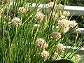 Chives small three-valved capsule with seeds.jpg