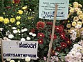 Chrysanthemum from Lalbagh flower show Aug 2013 7947.JPG