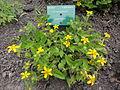 Chrysogonum virginianum 1.JPG