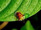 Chrysomelidae by kadavoor.jpg