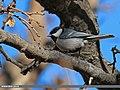 Cinereous Tit (Parus cinereus) (16388623707).jpg
