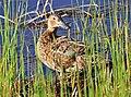 Cinnamon Teal on Seedskadee National Wildlife Refuge (26211634674).jpg