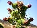 Cirsium vulgare InflorescencesattheApex 15August2009 LagunadeCaracuel.jpg