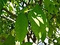 Citrus aurantium leaves.JPG