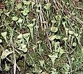 Cladonia fimbriata LC0005.jpg