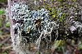 Cladonia rangiferina Reindeer Lichen ირმის ხავსი.JPG
