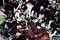 Cladonia sobolescens-7.jpg