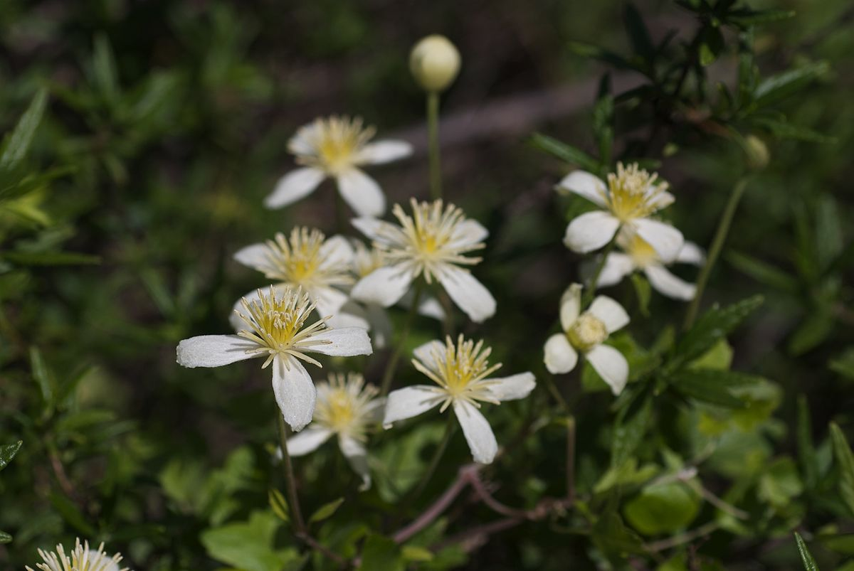 Clematis lasiantha - Wikipedia