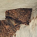 Cliff Swallow Feeding (4869084720).jpg