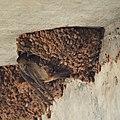 Cliff Swallow Feeding (4869084720).jpg
