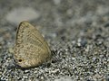 Close wing mud-pudding of Prosotas pia Toxopeus, 1929 – Additional Lineblue.jpg
