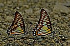 Close wing position of Graphium chironides Honrath, 1884 – Veined Jay WLB DSC 9008.jpg