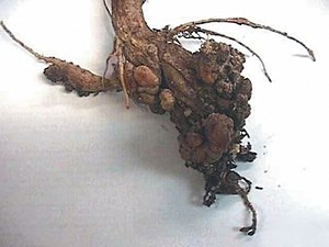 Clubroot - Galls on plant roots.