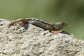 Coast Range Fence Lizard (Sceloporus occidentalis bocourtii).jpg