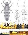 Coccinellidae (10.3897-zoologia.38.e64154) Figures 1–11.jpg