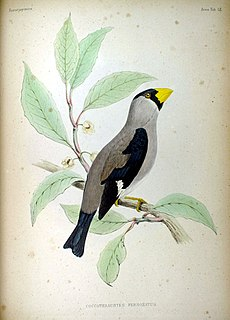 Coccothraustes personatus Fauna Japonica.jpg