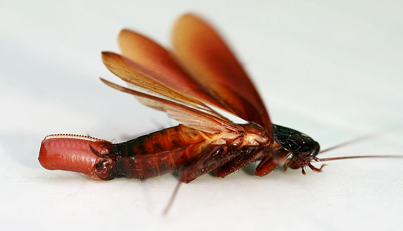 roaches egg1