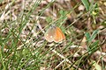 Coenonympha glycerion - img 13240.jpg