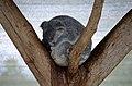 Cohunu koala, 2013(3).JPG