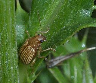 <i>Colaspis</i> Genus of leaf beetles