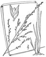 Coleataenia longifolia ssp longifolia (as Panicum longifolium) BB-1913.png