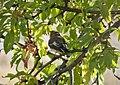 Collared Flycatcher hen . Ficedula albicollis (25294948747).jpg
