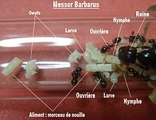 Colonie de fourmis Messor barbarus.jpg