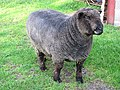 Coloured Ryeland tup - a heid banger - geograph.org.uk - 2691884.jpg