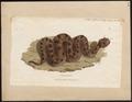 Coluber cerastes - 1700-1880 - Print - Iconographia Zoologica - Special Collections University of Amsterdam - UBA01 IZ11700093.tif