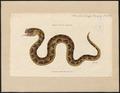 Coluber nasicornis - 1700-1880 - Print - Iconographia Zoologica - Special Collections University of Amsterdam - UBA01 IZ11700097.tif