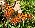 Comma. Polygonia c-album - Flickr - gailhampshire (2).jpg