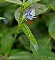 Commelina diffusa W2 IMG 2148.jpg