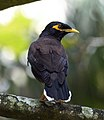 Common-mynah-from-kottayam-kerala.jpg