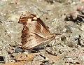 Common Beak Libythea lepita Uttarakhand by Dr. Raju Kasambe DSCN1923 (4).jpg
