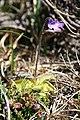 Common Butterwort (Pinguicula vulgaris) - geograph.org.uk - 820435.jpg