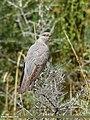 Common Cuckoo (Cuculus canorus) (49771486937).jpg