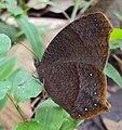 Common Evening Brown -Melanitis phedima 05.JPG