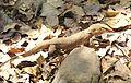 Common Indian Monitor or Bengal monitor Varanus bengalensis Karnala Maharashtra (1).JPG