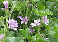 Common Mallow - geograph.org.uk - 464064.jpg