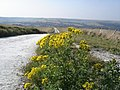 Common Ragwort - Senecio jacobaea - geograph.org.uk - 1513134.jpg